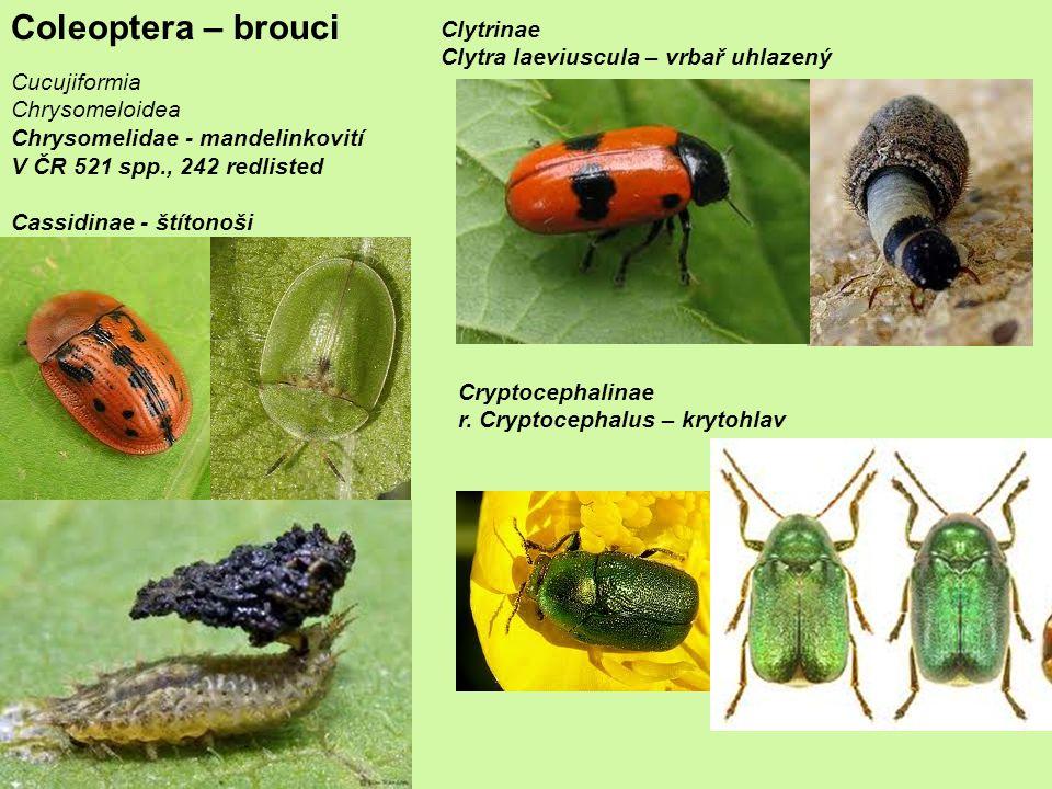 Coleoptera – brouci Cucujiformia Chrysomeloidea Chrysomelidae - mandelinkovití V ČR 521 spp., 242 redlisted Cassidinae - štítonoši Clytrinae Clytra laeviuscula – vrbař uhlazený Cryptocephalinae r.