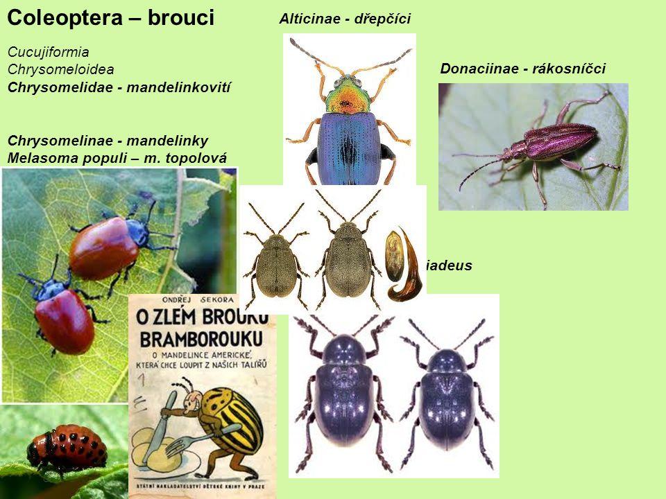 Coleoptera – brouci Cucujiformia Chrysomeloidea Chrysomelidae - mandelinkovití Chrysomelinae - mandelinky Melasoma populi – m.