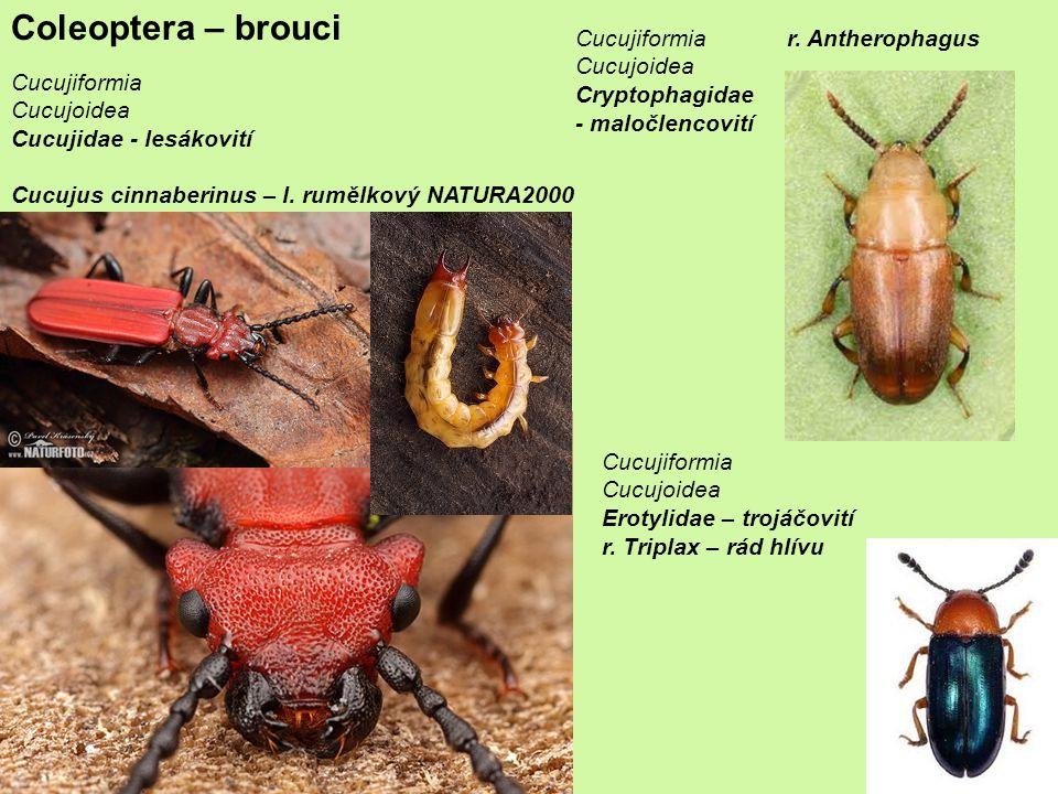 Coleoptera – brouci Cucujiformia Cucujoidea Cucujidae - lesákovití Cucujus cinnaberinus – l.