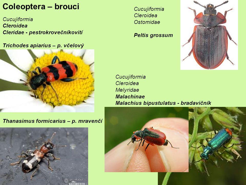 Coleoptera – brouci Cucujiformia Cleroidea Cleridae - pestrokrovečníkovití Trichodes apiarius – p.