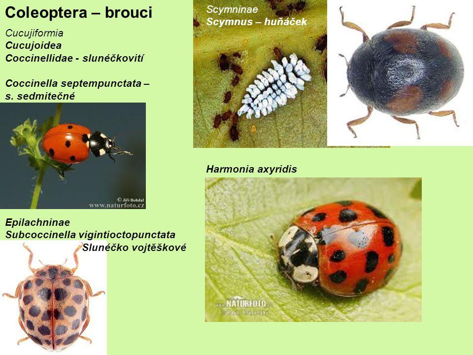 Coleoptera – brouci Cucujiformia Cucujoidea Coccinellidae - slunéčkovití Coccinella septempunctata – s.