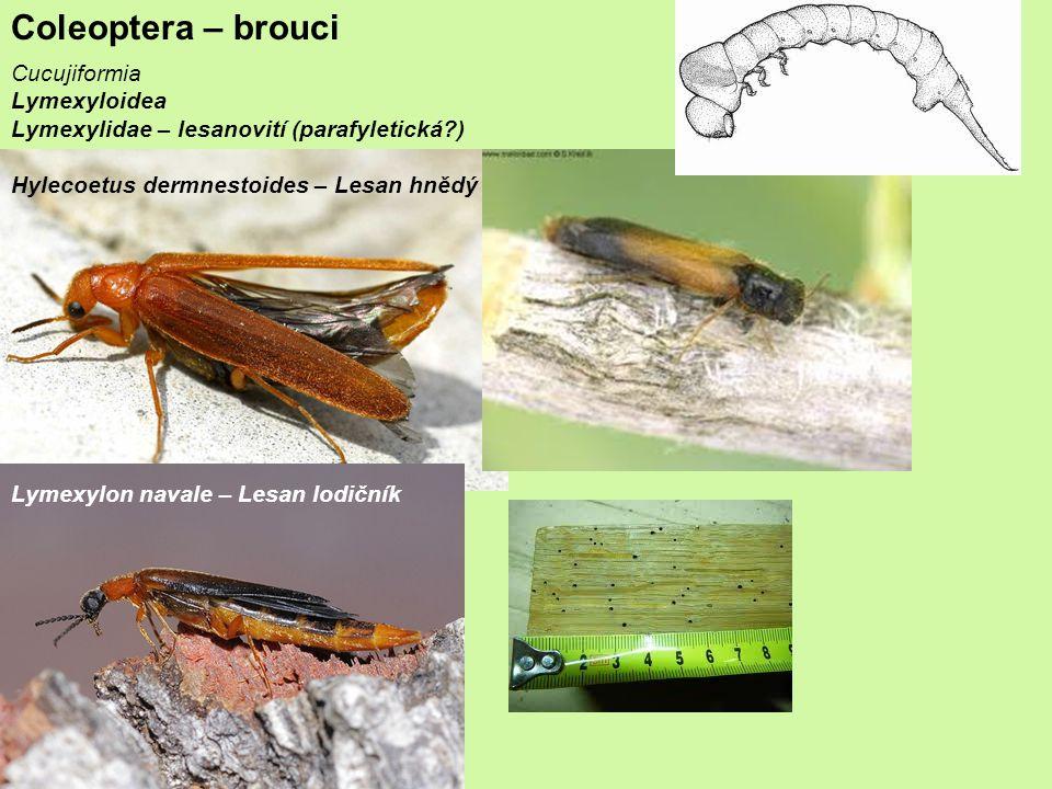 Coleoptera – brouci Cucujiformia Lymexyloidea Lymexylidae – lesanovití (parafyletická?) Hylecoetus dermnestoides – Lesan hnědý Lymexylon navale – Lesan lodičník