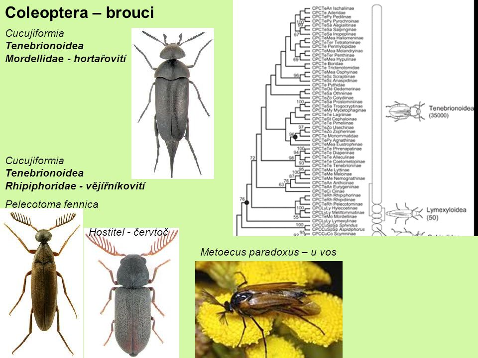Coleoptera – brouci Cucujiformia Tenebrionoidea Mordellidae - hortařovití Cucujiformia Tenebrionoidea Rhipiphoridae - vějířníkovití Hostitel - červtoč Metoecus paradoxus – u vos Pelecotoma fennica