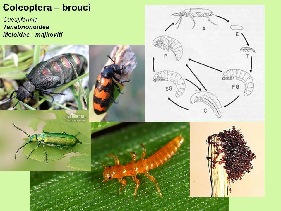 Coleoptera – brouci Cucujiformia Tenebrionoidea Meloidae - majkovití