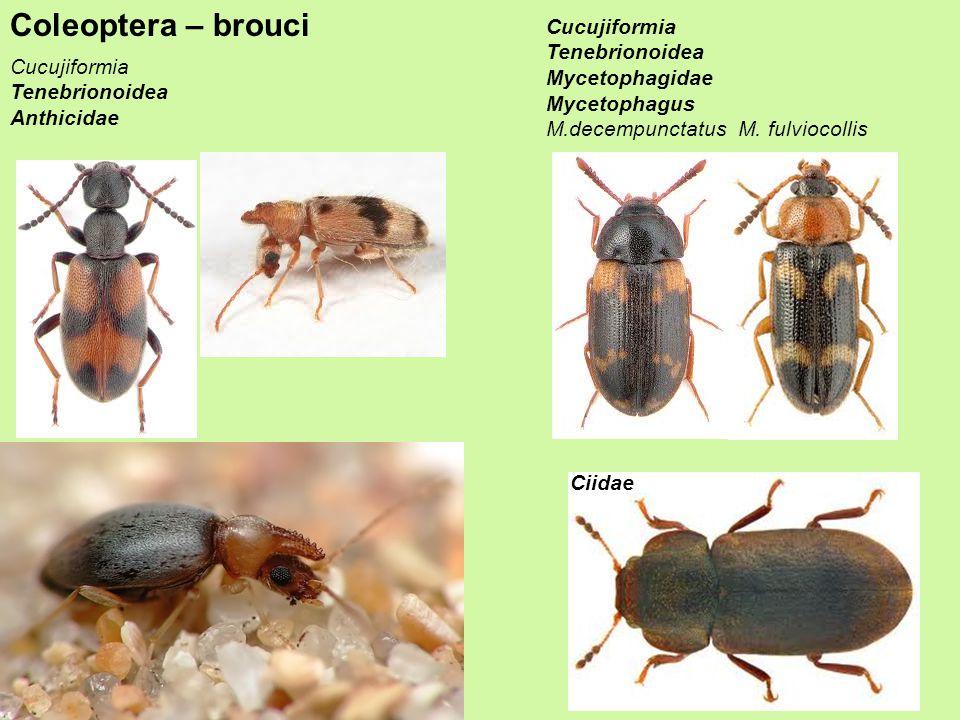 Coleoptera – brouci Cucujiformia Tenebrionoidea Anthicidae Cucujiformia Tenebrionoidea Mycetophagidae Mycetophagus M.decempunctatus M.
