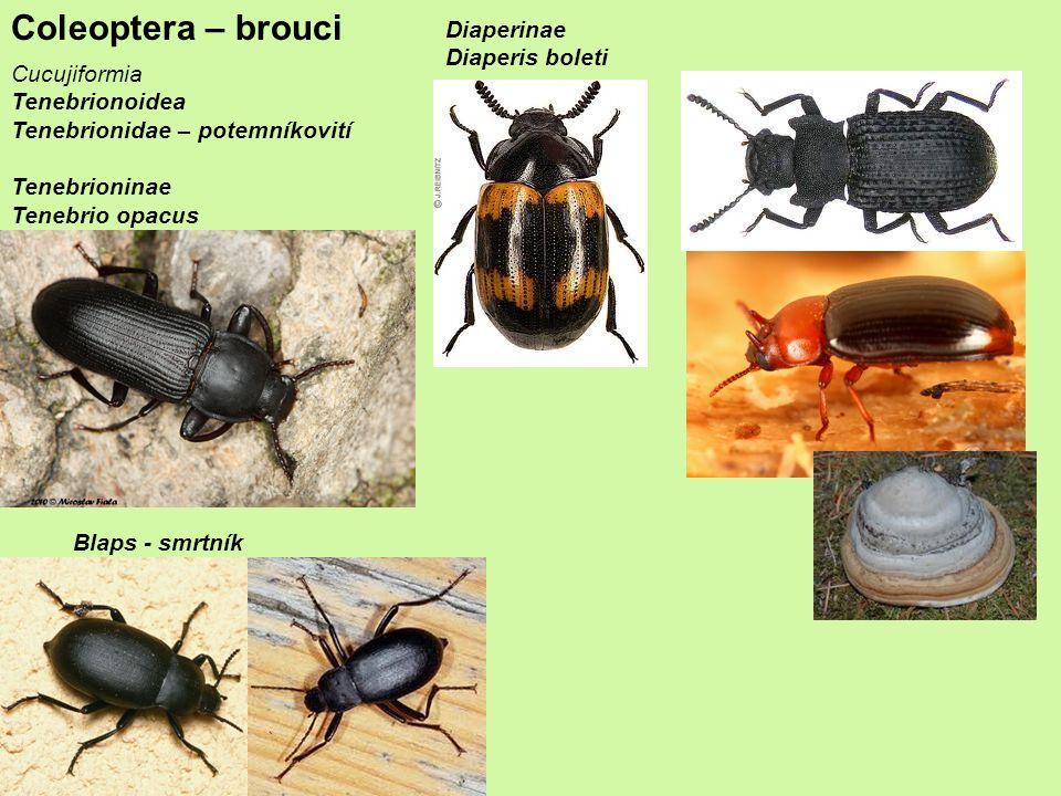 Coleoptera – brouci Cucujiformia Tenebrionoidea Tenebrionidae – potemníkovití Tenebrioninae Tenebrio opacus Diaperinae Diaperis boleti Blaps - smrtník