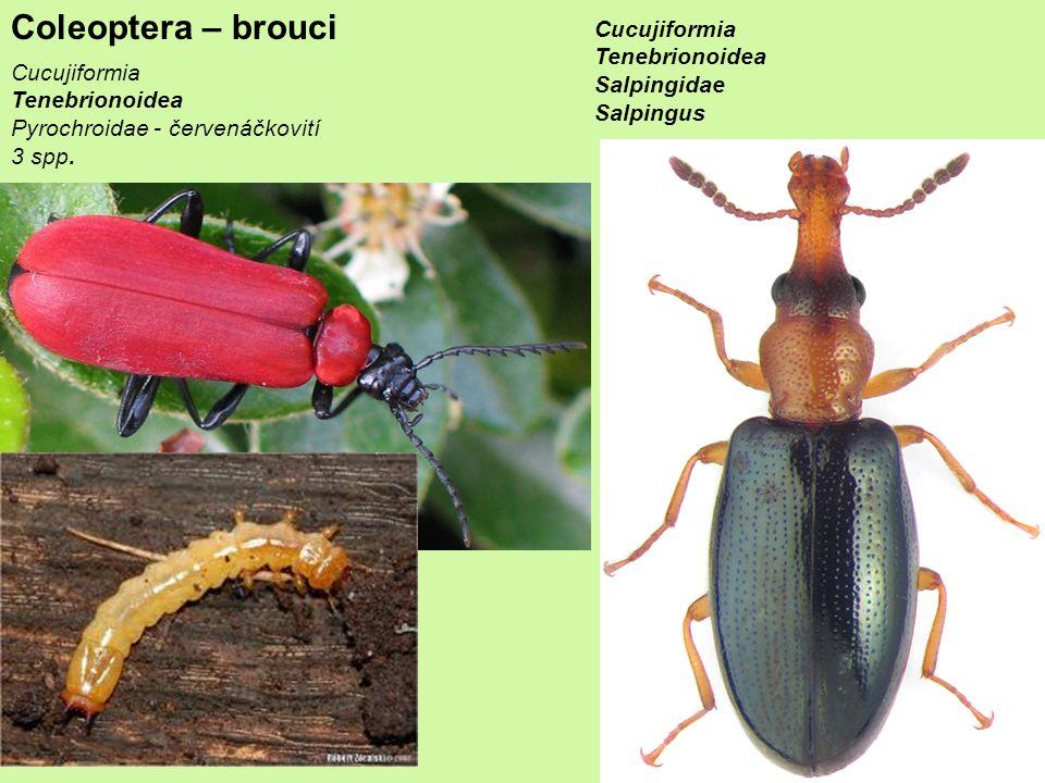 Coleoptera – brouci Cucujiformia Tenebrionoidea Pyrochroidae - červenáčkovití 3 spp.