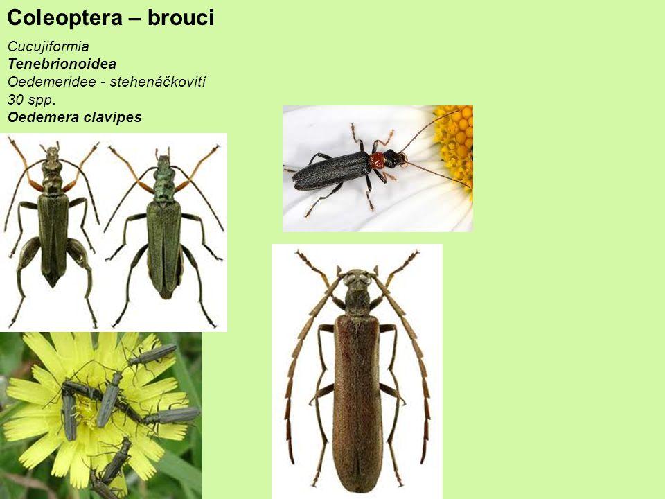 Coleoptera – brouci Cucujiformia Tenebrionoidea Oedemeridee - stehenáčkovití 30 spp.
