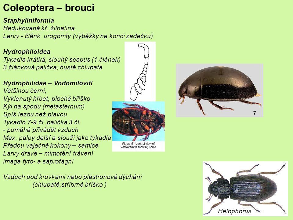 Coleoptera – brouci Cucujiformia Chrysomeloidea
