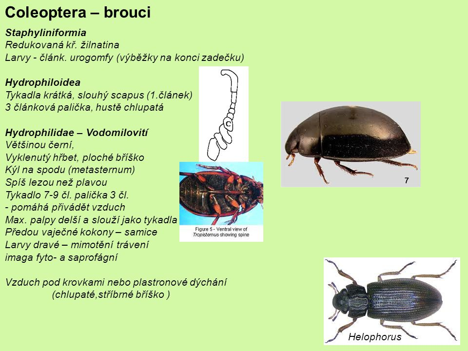 Coleoptera – brouci Hydrophilidae – Vodomilovití ČR – 109 spp.