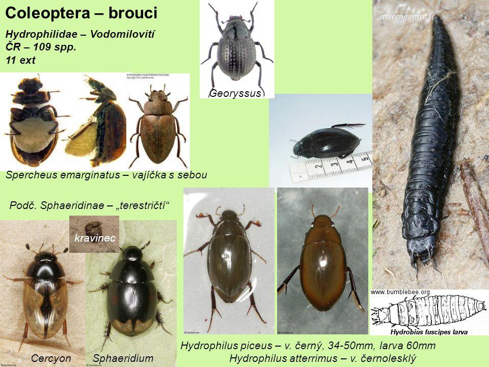 Coleoptera – brouci Histeridae – mršníkovití 3800 spp.