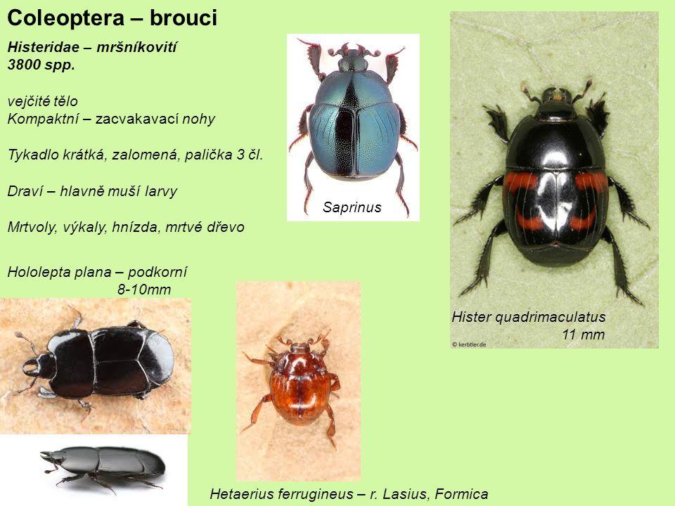 Coleoptera – brouci Scarabaeoidea Geotrupidae Bolboceratinae Podzemní houby Odontaeus armiger – 1cm NATURA2000 Vymřel s králíkama Scarabaeidae – vrubounovití Aphodiinae – hnojníci r.