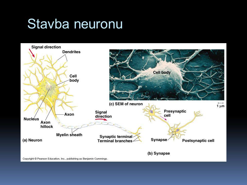 Stavba neuronu