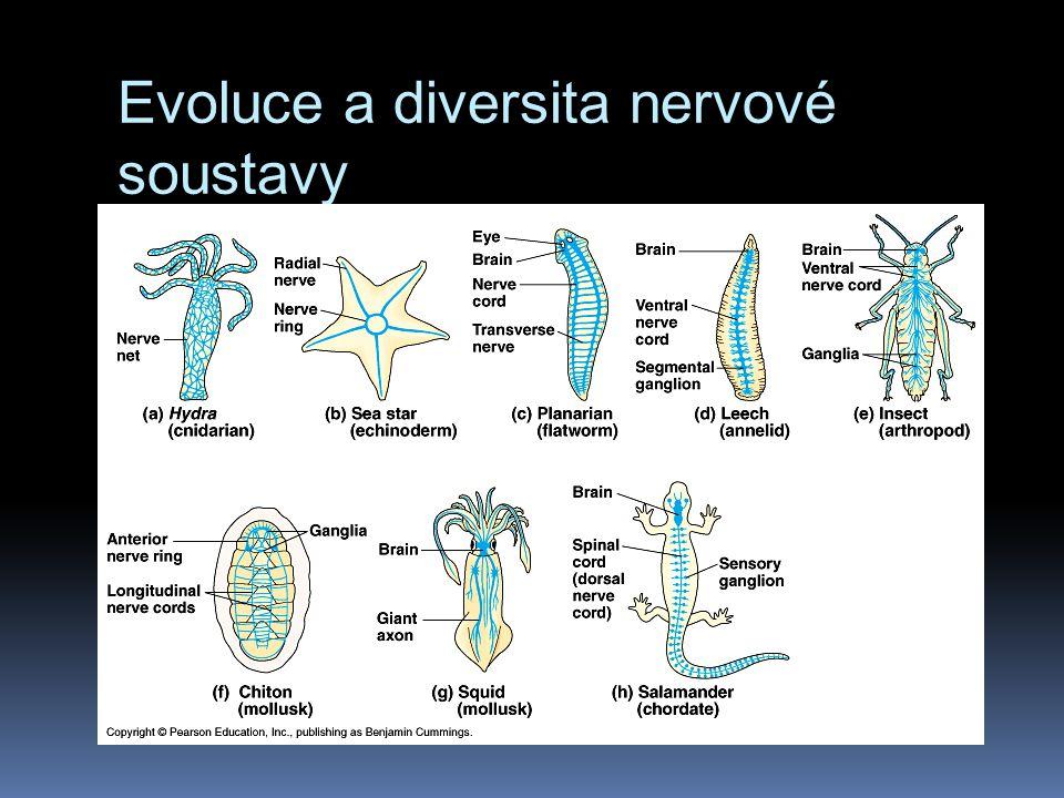 Evoluce a diversita nervové soustavy