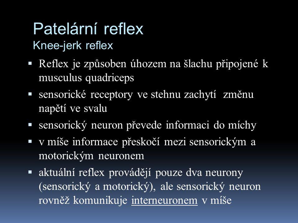 Patelární reflex Knee-jerk reflex  Reflex je způsoben úhozem na šlachu připojené k musculus quadriceps  sensorické receptory ve stehnu zachytí změnu