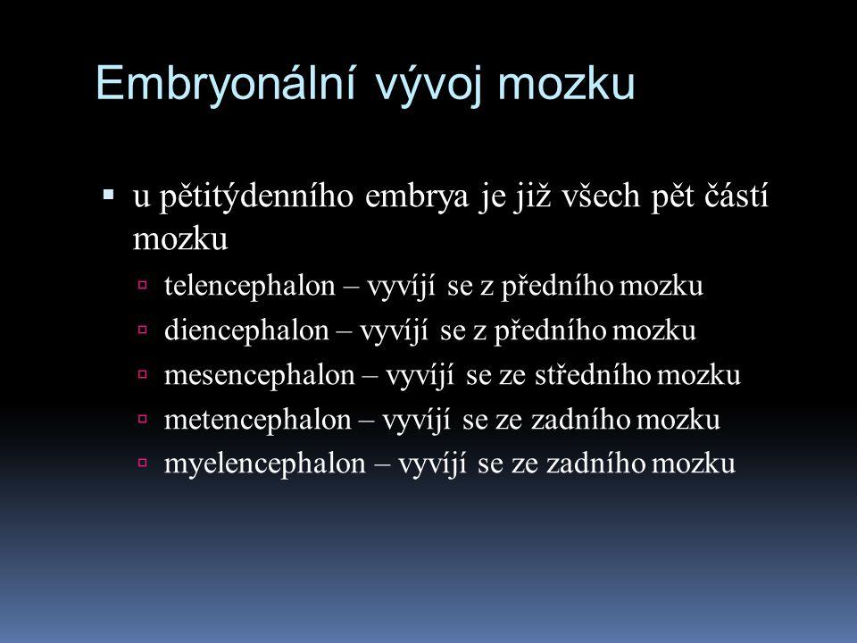 Embryonální vývoj mozku  u pětitýdenního embrya je již všech pět částí mozku  telencephalon – vyvíjí se z předního mozku  diencephalon – vyvíjí se