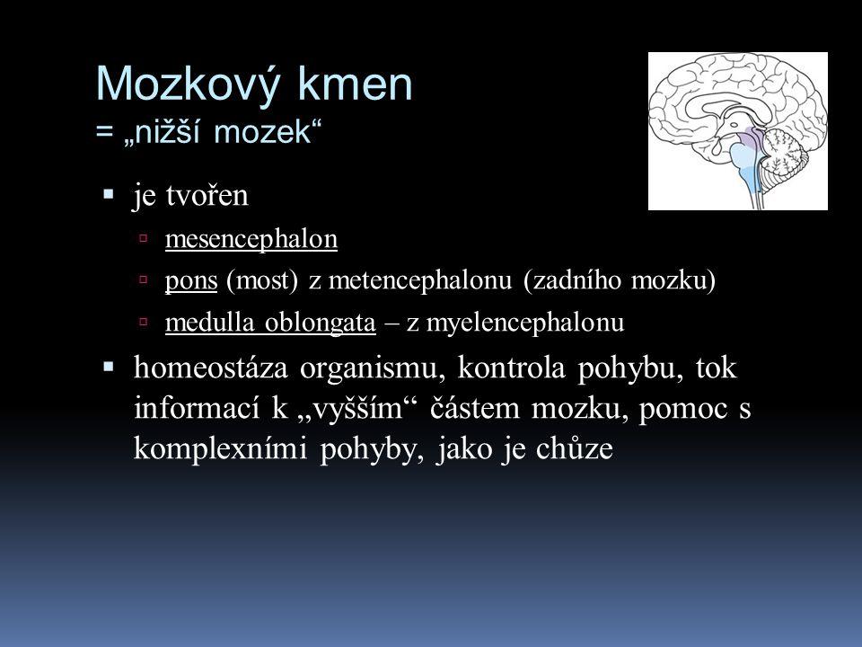 """Mozkový kmen = """"nižší mozek""""  je tvořen  mesencephalon  pons (most) z metencephalonu (zadního mozku)  medulla oblongata – z myelencephalonu  home"""