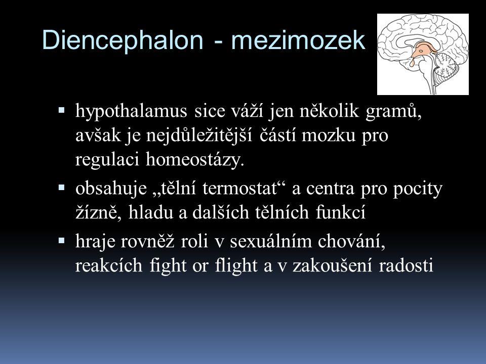 """Diencephalon - mezimozek  hypothalamus sice váží jen několik gramů, avšak je nejdůležitější částí mozku pro regulaci homeostázy.  obsahuje """"tělní te"""