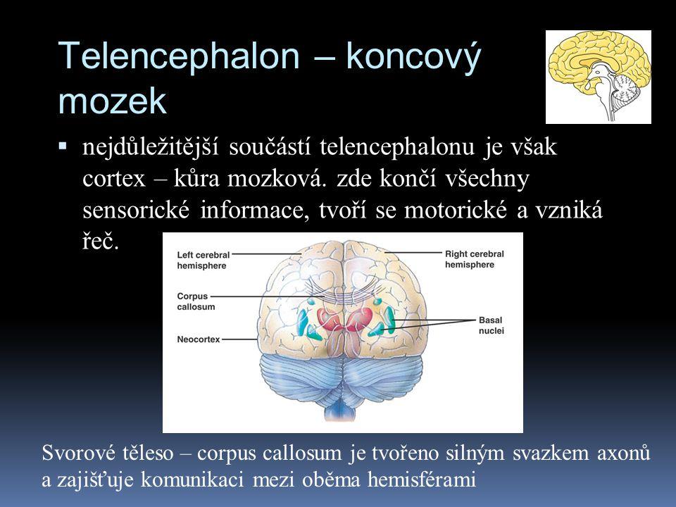 Telencephalon – koncový mozek  nejdůležitější součástí telencephalonu je však cortex – kůra mozková. zde končí všechny sensorické informace, tvoří se