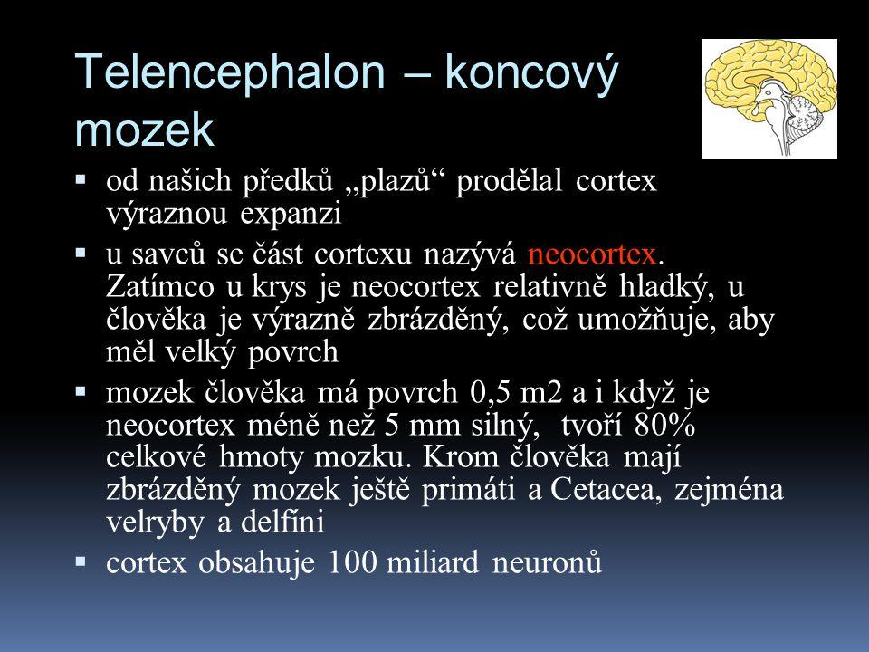 """Telencephalon – koncový mozek  od našich předků """"plazů"""" prodělal cortex výraznou expanzi  u savců se část cortexu nazývá neocortex. Zatímco u krys j"""