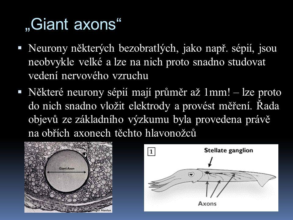 """""""Giant axons""""  Neurony některých bezobratlých, jako např. sépií, jsou neobvykle velké a lze na nich proto snadno studovat vedení nervového vzruchu """