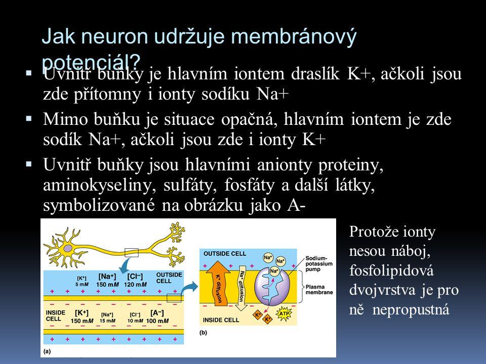 Jak neuron udržuje membránový potenciál?  Uvnitř buňky je hlavním iontem draslík K+, ačkoli jsou zde přítomny i ionty sodíku Na+  Mimo buňku je situ