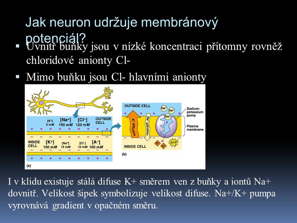 Jak neuron udržuje membránový potenciál?  Uvnitř buňky jsou v nízké koncentraci přítomny rovněž chloridové anionty Cl-  Mimo buňku jsou Cl- hlavními