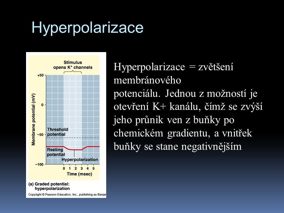Hyperpolarizace Hyperpolarizace = zvětšení membránového potenciálu. Jednou z možností je otevření K+ kanálu, čímž se zvýší jeho průnik ven z buňky po