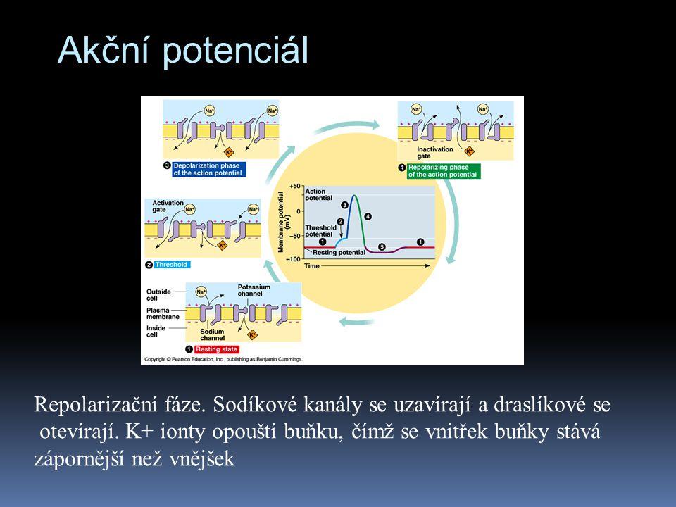 Akční potenciál Repolarizační fáze. Sodíkové kanály se uzavírají a draslíkové se otevírají. K+ ionty opouští buňku, čímž se vnitřek buňky stává záporn