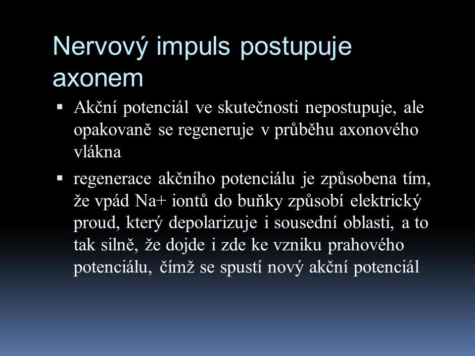 Nervový impuls postupuje axonem  Akční potenciál ve skutečnosti nepostupuje, ale opakovaně se regeneruje v průběhu axonového vlákna  regenerace akčn