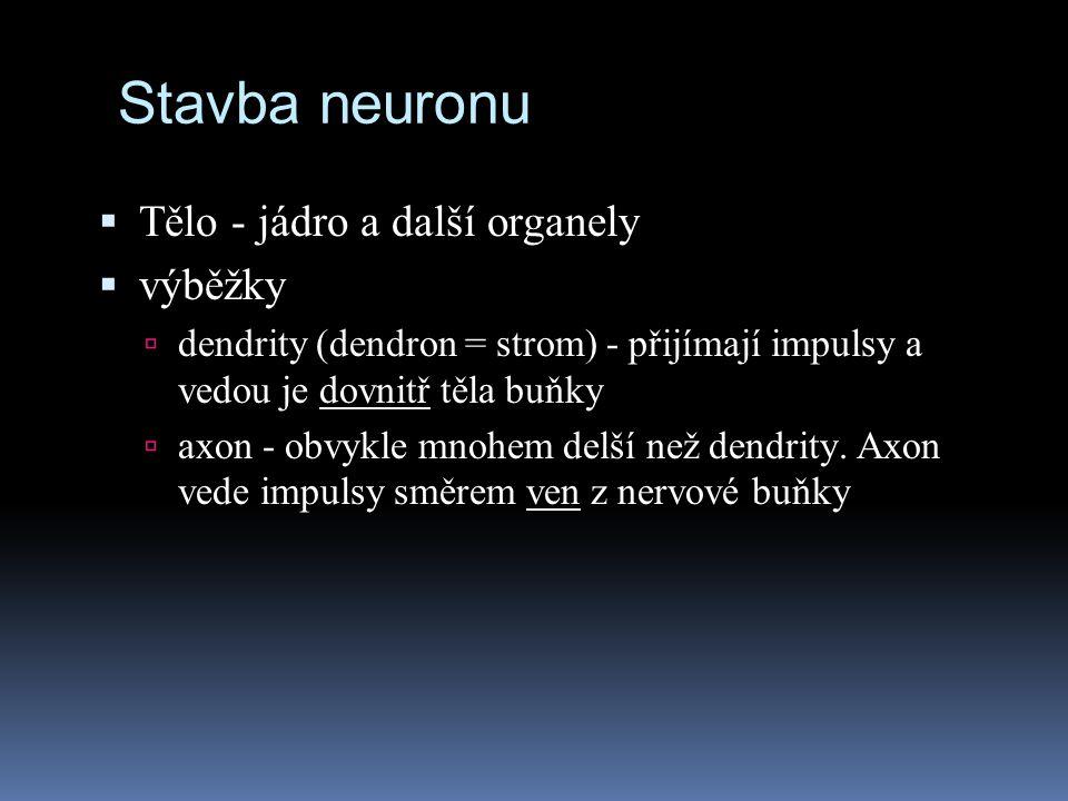  Tělo - jádro a další organely  výběžky  dendrity (dendron = strom) - přijímají impulsy a vedou je dovnitř těla buňky  axon - obvykle mnohem delší
