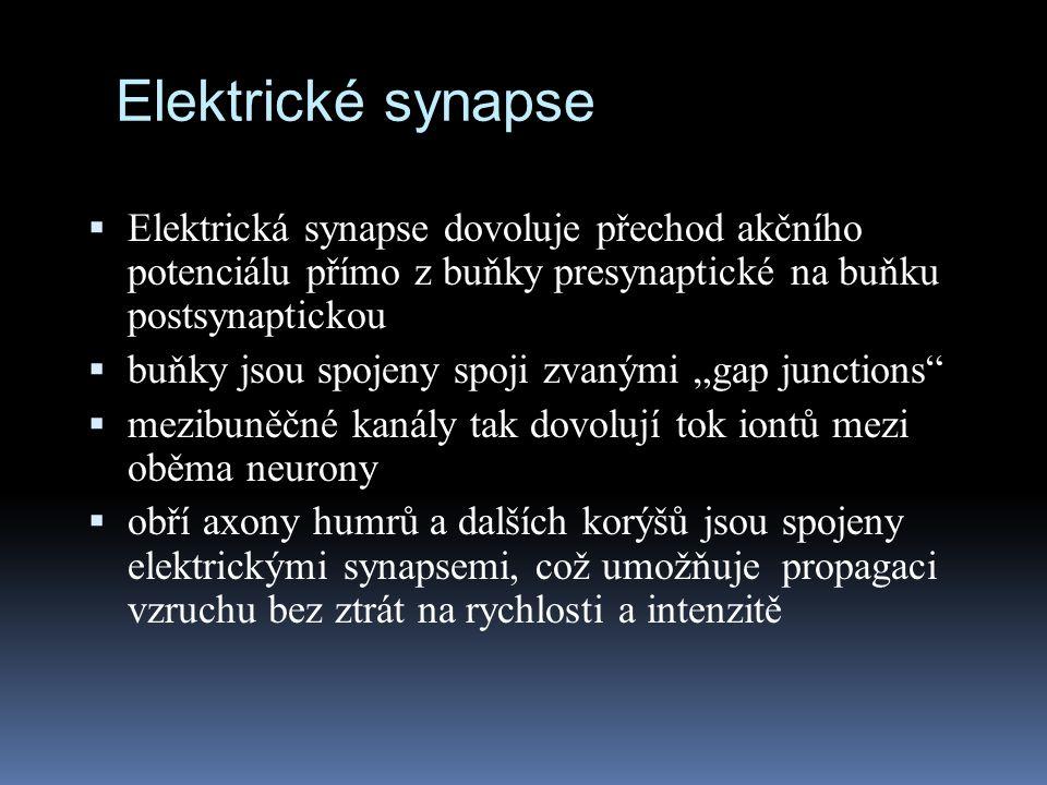 Elektrické synapse  Elektrická synapse dovoluje přechod akčního potenciálu přímo z buňky presynaptické na buňku postsynaptickou  buňky jsou spojeny