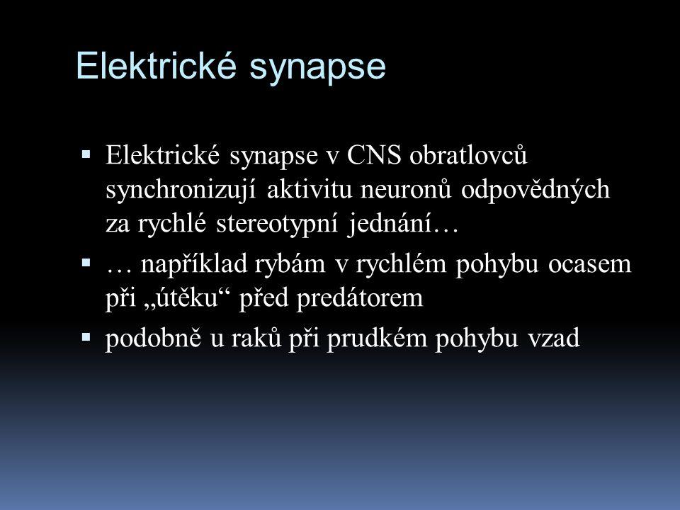Elektrické synapse  Elektrické synapse v CNS obratlovců synchronizují aktivitu neuronů odpovědných za rychlé stereotypní jednání…  … například rybám