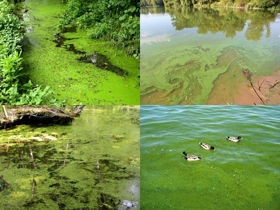 PŘÍČINY EUTROFIZACE Splachy anorganických hnojiv (nitráty a fosfáty) Přírodní výluhy (nitráty a fosfáty) Přísun nitrátů, fosfátů a amoniaku z odpadů živočišné produkce (močůvka, kejda, chlévská mrva) Srážky Narušení chemických cyklů Splachy a eroze v důsledku zemědělské výroby, těžby a stavebnictví Přísun detergentů Přísun čištěných odpadních vod Přísun nečištěných odpadních vod