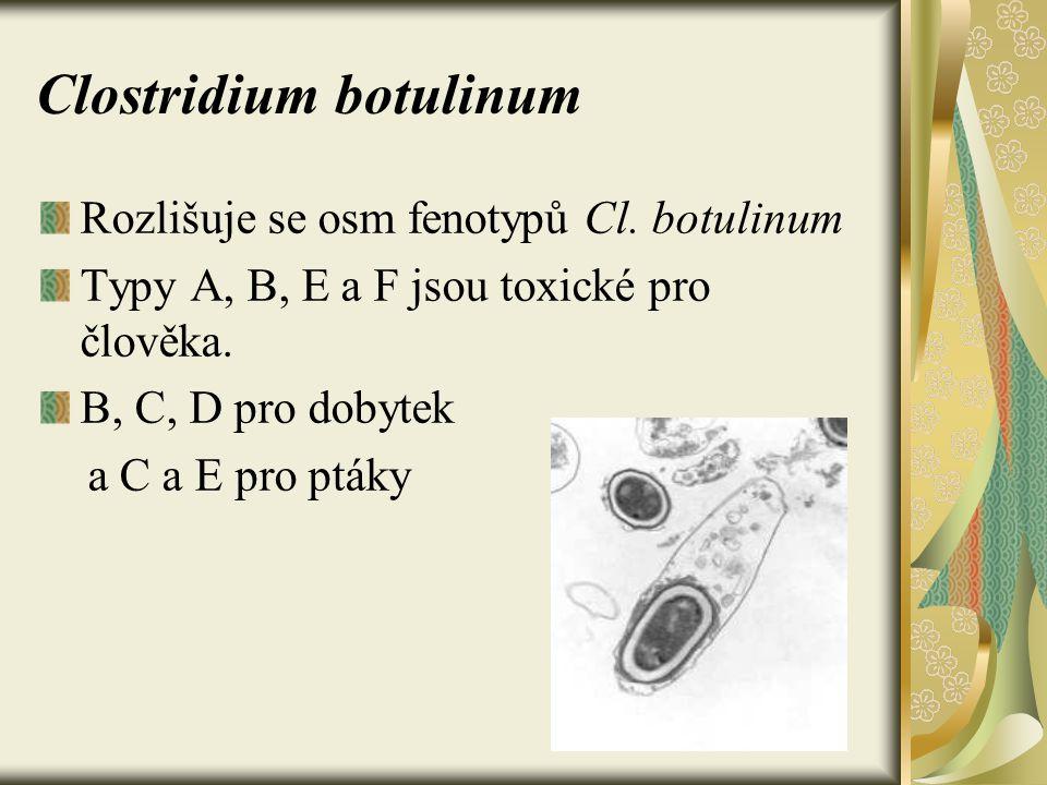 Clostridium botulinum Rozlišuje se osm fenotypů Cl. botulinum Typy A, B, E a F jsou toxické pro člověka. B, C, D pro dobytek a C a E pro ptáky