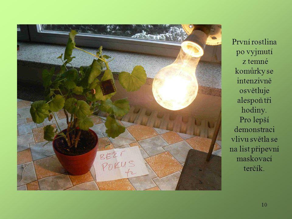 10 První rostlina po vyjmutí z temné komůrky se intenzivně osvětluje alespoň tři hodiny.