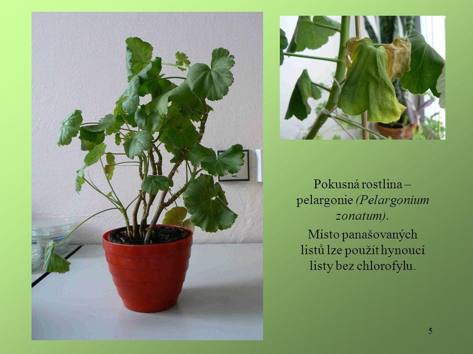 5 Pokusná rostlina – pelargonie (Pelargonium zonatum).