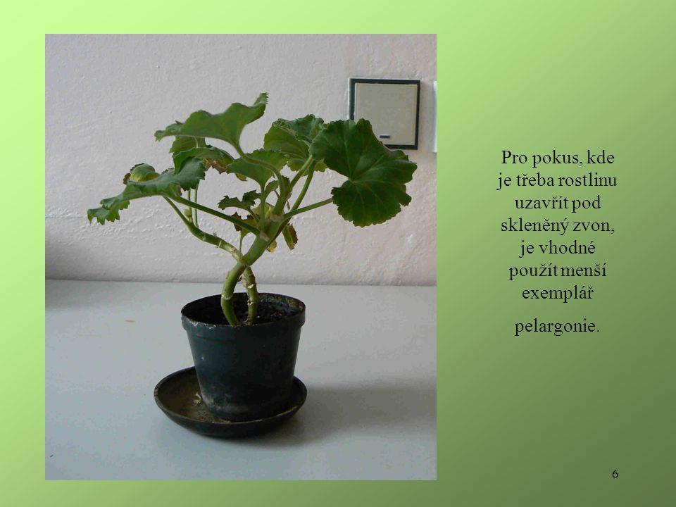 6 Pro pokus, kde je třeba rostlinu uzavřít pod skleněný zvon, je vhodné použít menší exemplář pelargonie.