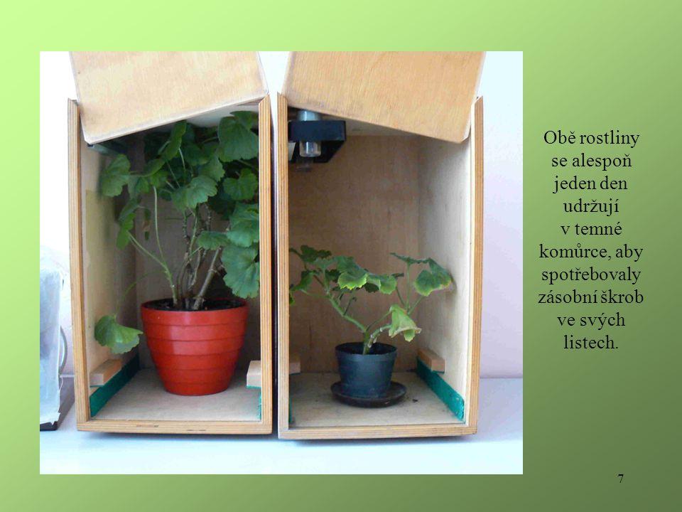 7 Obě rostliny se alespoň jeden den udržují v temné komůrce, aby spotřebovaly zásobní škrob ve svých listech.