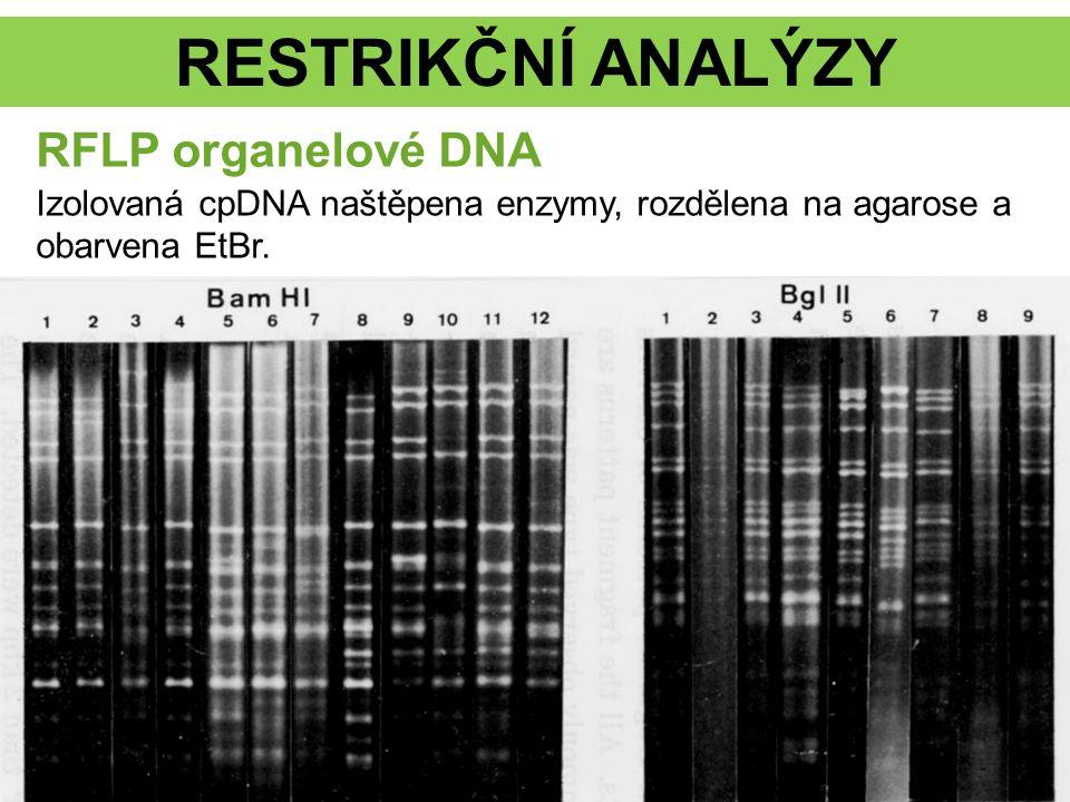 RESTRIKČNÍ ANALÝZY RFLP organelové DNA Izolovaná cpDNA naštěpena enzymy, rozdělena na agarose a obarvena EtBr.