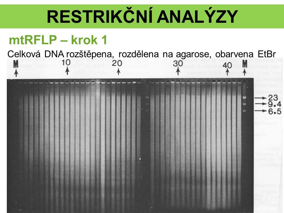 RESTRIKČNÍ ANALÝZY Celková DNA rozštěpena, rozdělena na agarose, obarvena EtBr mtRFLP – krok 1
