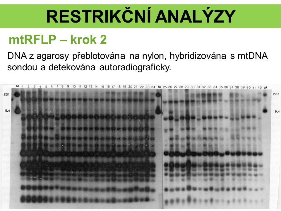 RESTRIKČNÍ ANALÝZY mtRFLP – krok 2 DNA z agarosy přeblotována na nylon, hybridizována s mtDNA sondou a detekována autoradiograficky.