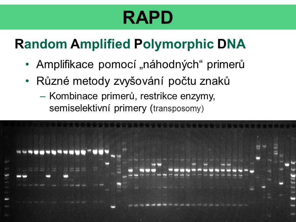 """RAPD Random Amplified Polymorphic DNA Amplifikace pomocí """"náhodných"""" primerů Různé metody zvyšování počtu znaků –Kombinace primerů, restrikce enzymy,"""