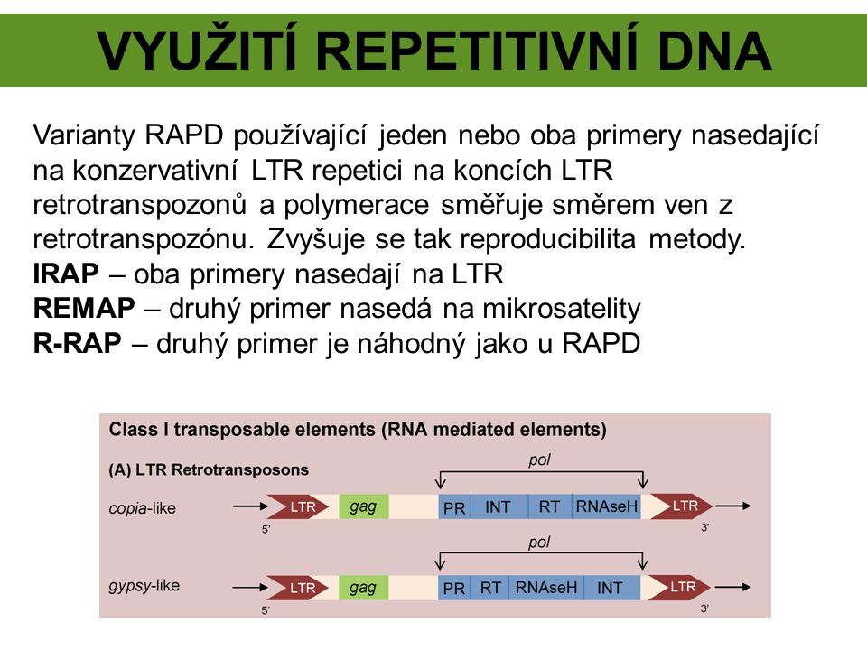 SINE Short INterspersed repetitive Elements Retroposony derivované z tRNA, případně 7 SL RNA (Alu).