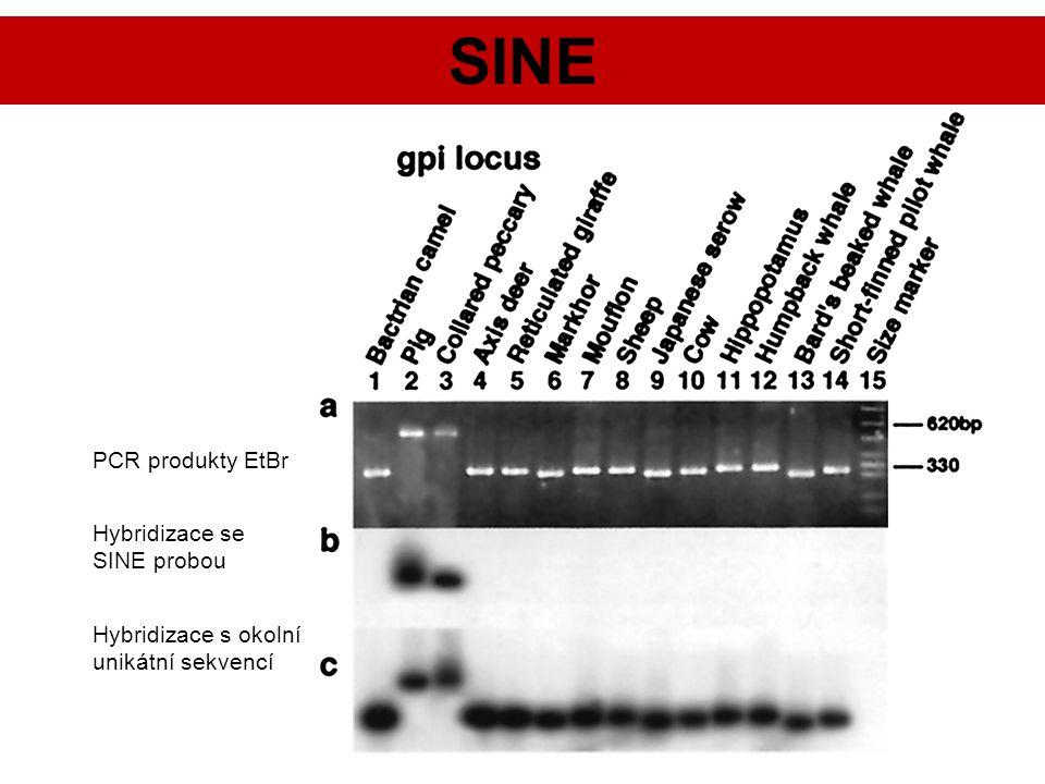 SINE PCR produkty EtBr Hybridizace se SINE probou Hybridizace s okolní unikátní sekvencí