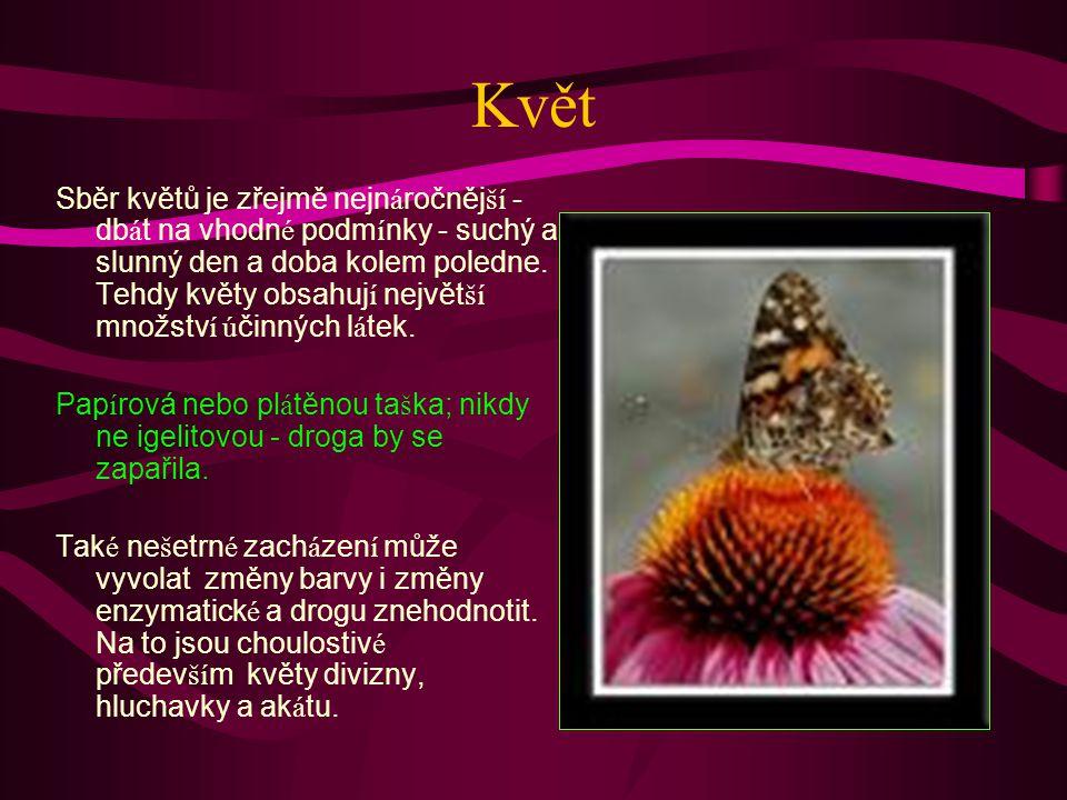 Květ Sběr květů je zřejmě nejn á ročněj ší - db á t na vhodn é podm í nky - suchý a slunný den a doba kolem poledne.