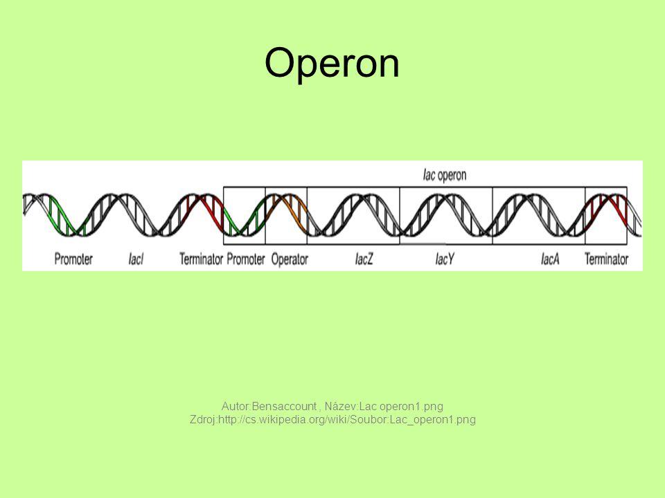 Operon Autor:Bensaccount, Název:Lac operon1.png Zdroj:http://cs.wikipedia.org/wiki/Soubor:Lac_operon1.png