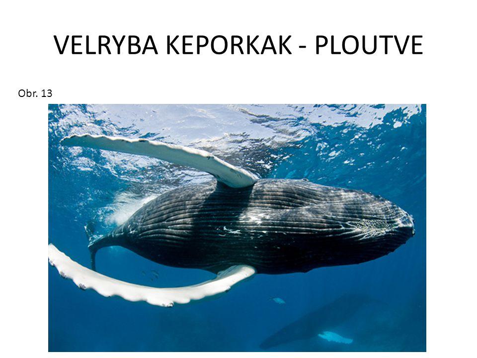 VELRYBA KEPORKAK - PLOUTVE Obr. 13