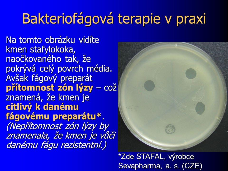 Bakteriofágová terapie v praxi Na tomto obrázku vidíte kmen stafylokoka, naočkovaného tak, že pokrývá celý povrch média. Avšak fágový preparát přítomn