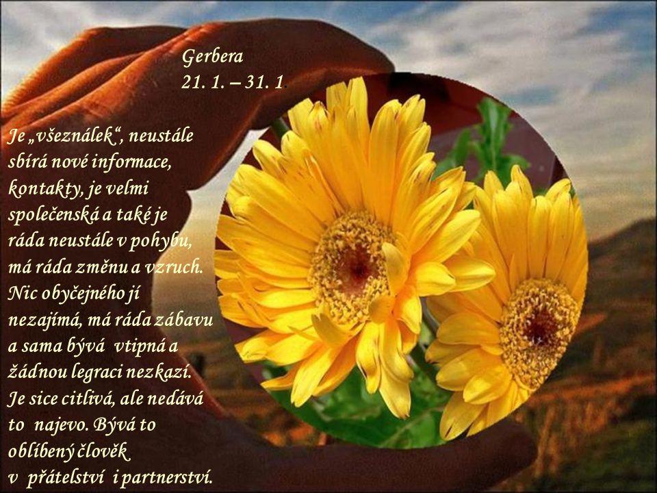 Gerbera 21.1. – 31. 1.